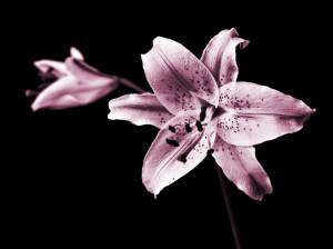 פרח 80-60 להדפסה על קנבס